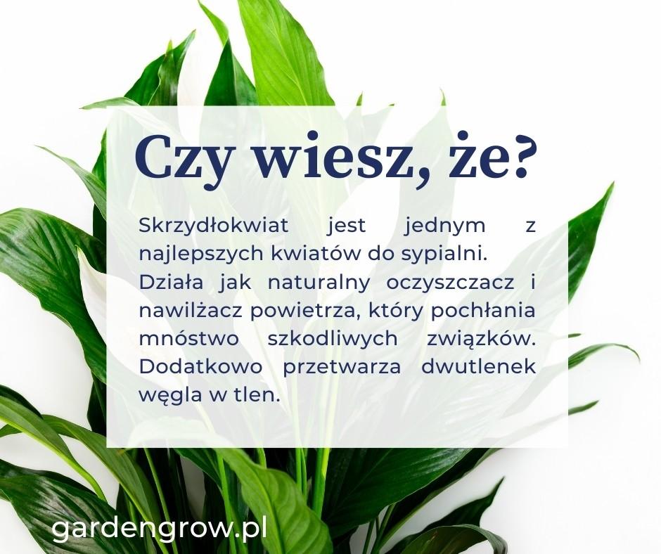 Skrzydłokwiat z dużymi zielonymi liśćmi
